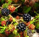 blckberries1.jpg (80x76 -- 5828 bytes)
