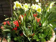 Tulips, Daffodils and grape Hyacinths in container